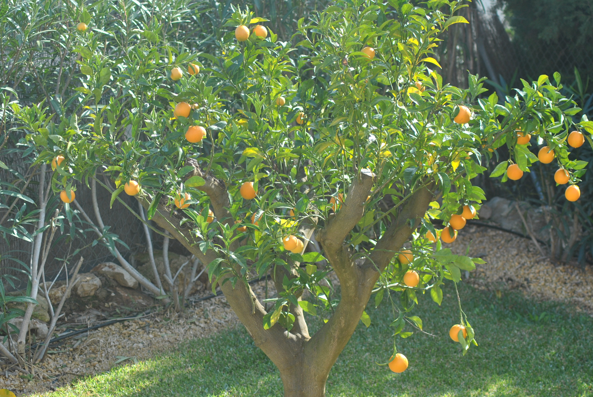 how to take care of an orange tree